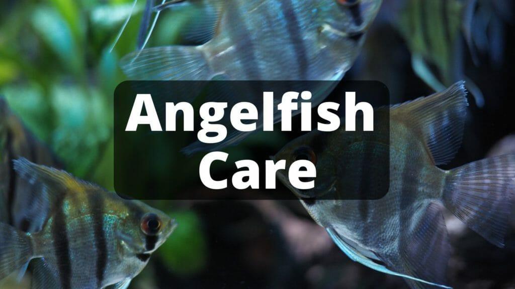 Angelfish care image