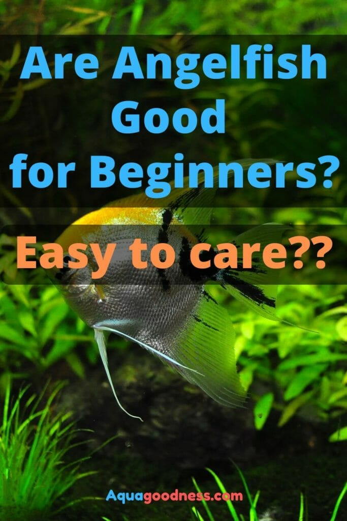 Are Angelfish Good for Beginners? (Easy to care???) image