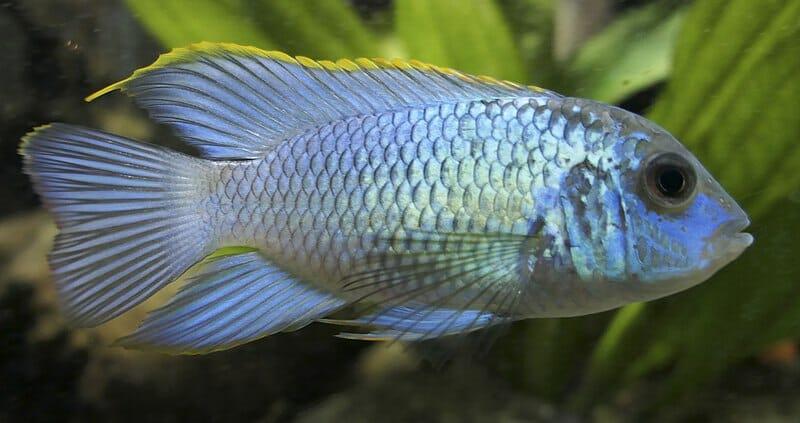 Blue Acara