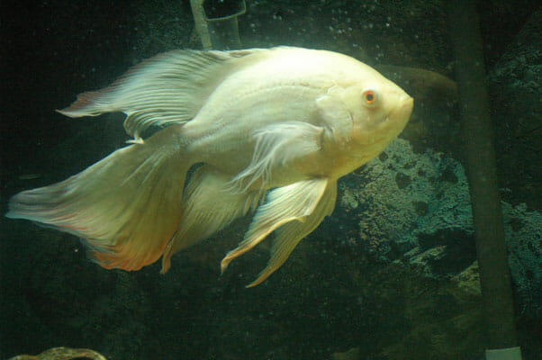 Veil Tail Oscar Fish