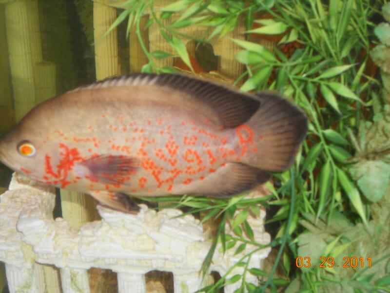 Albino Tiger Oscar Fish