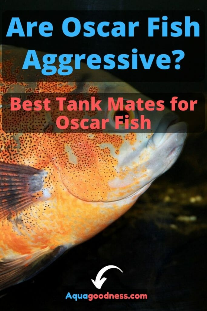 Are Oscar Fish Aggressive? (Best Tank Mates for Oscar Fish) image
