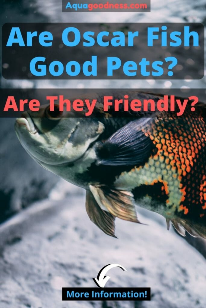 Are Oscar Fish Good Pets? (Are They Friendly?) iamge