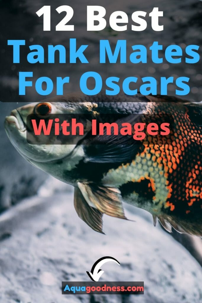 12 Best Tank Mates For Oscars (With Images) image