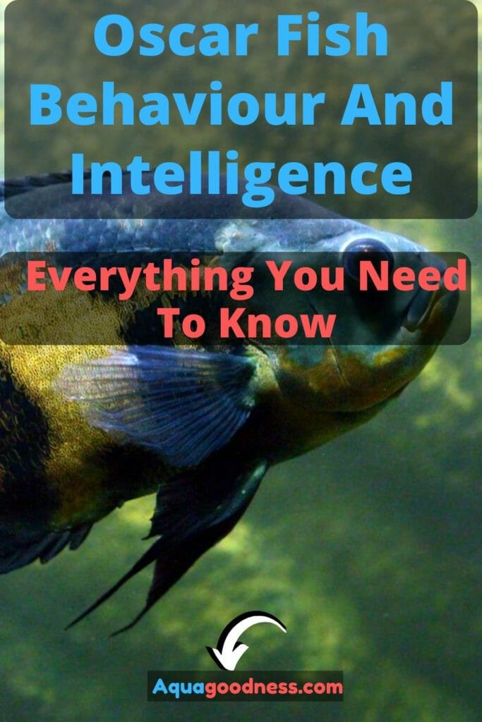 Oscar Fish Behaviour And Intelligence (Everything You Need To Know) image