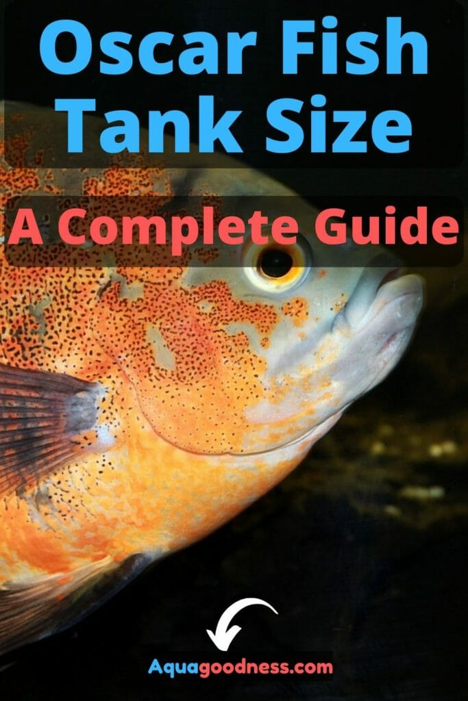Oscar Fish Tank Size (A Complete Guide) image