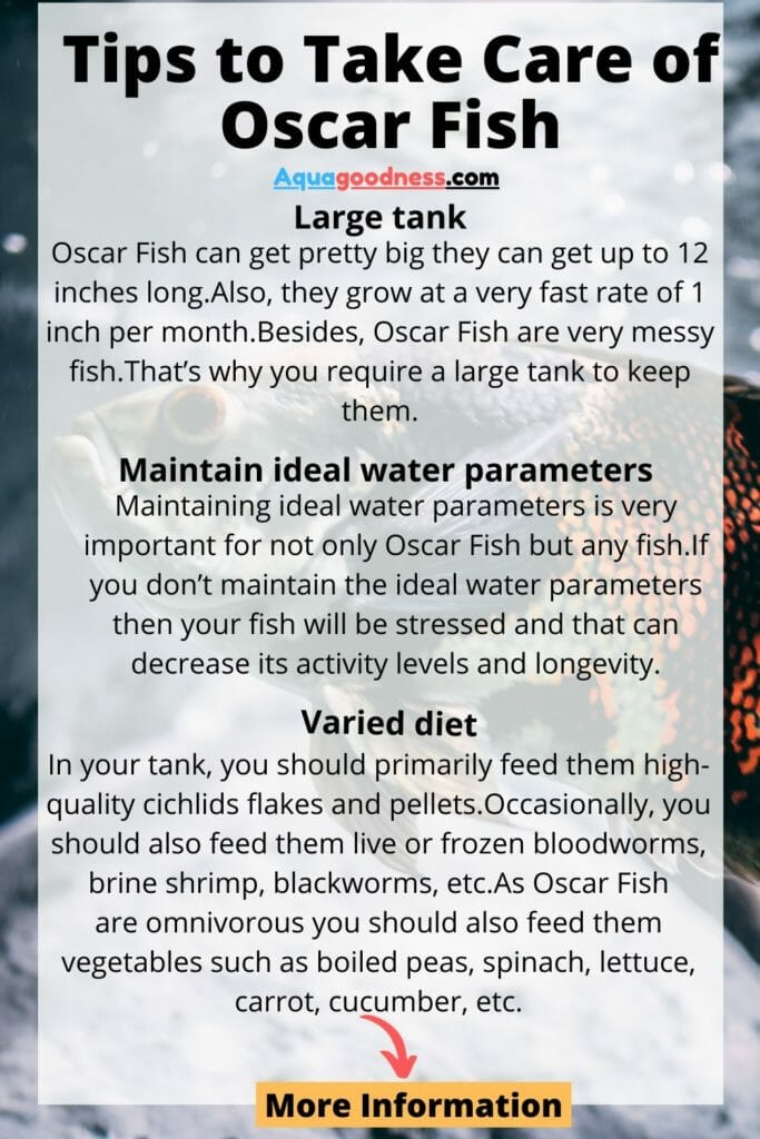 tips to take care of oscar fish infographic