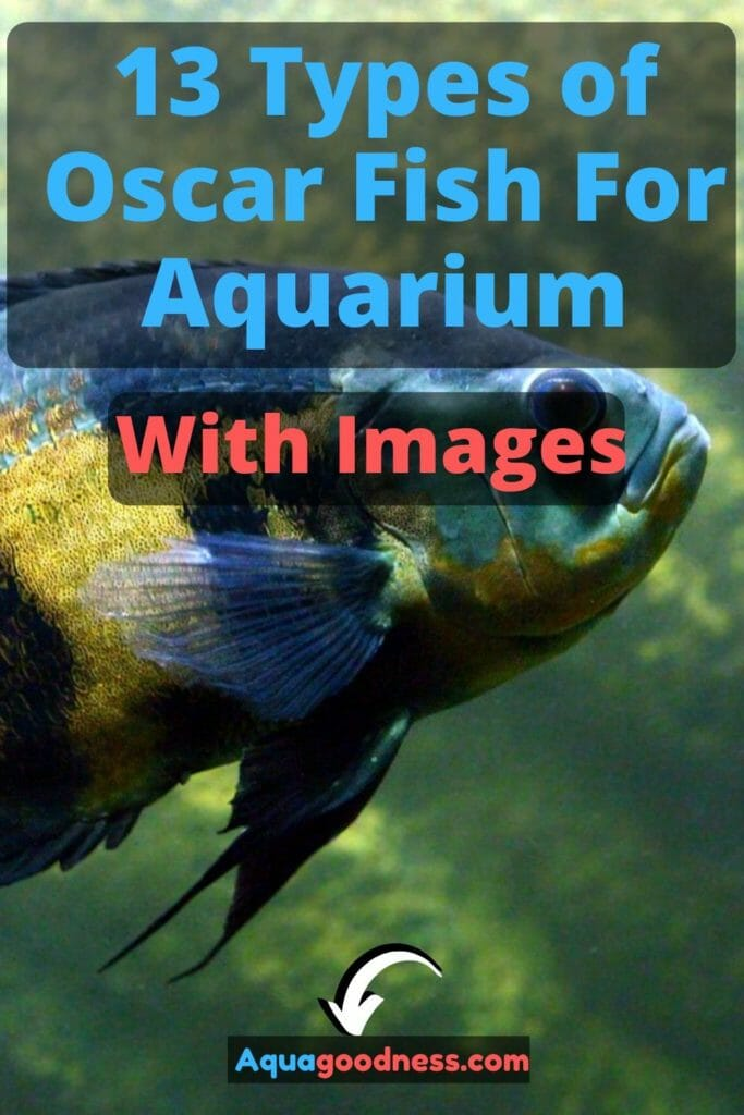 13 Types of Oscar Fish For Aquarium (With Images) image