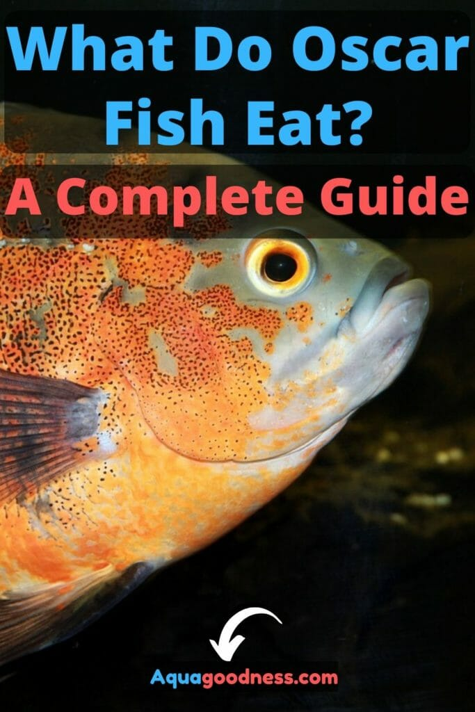 What Do Oscar Fish Eat? (A Complete Guide) image