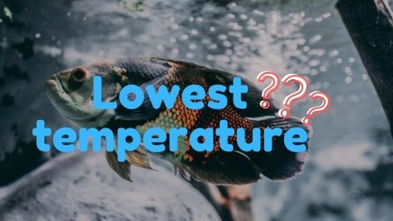 What is the lowest temperature and Oscar Fish can survive?