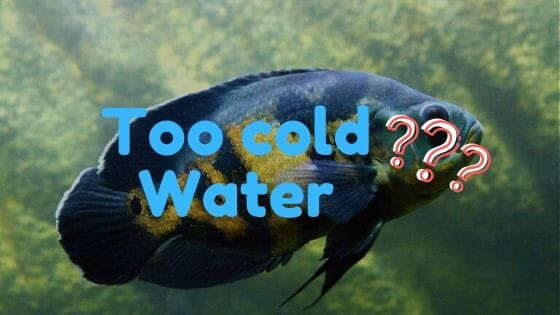 Will Oscar Fish die if the water is too cold?