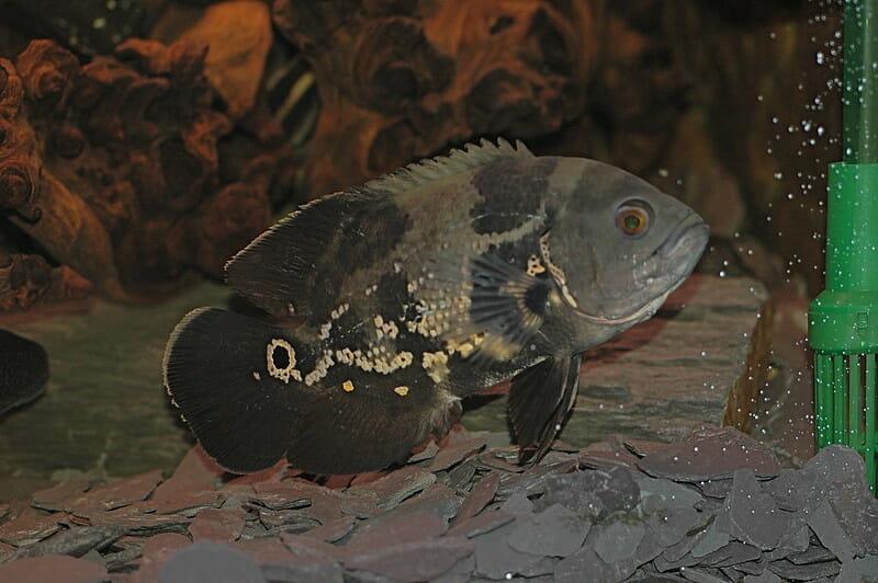 Black and White Oscar Fish