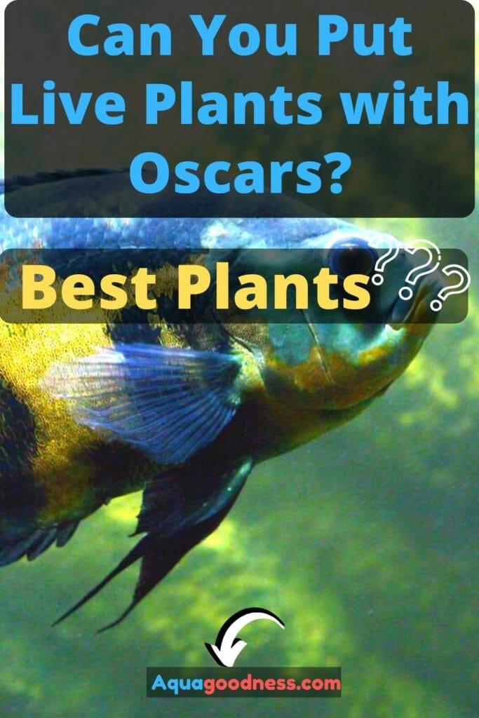 Can You Put Live Plants with Oscars? (Best Plants???) image