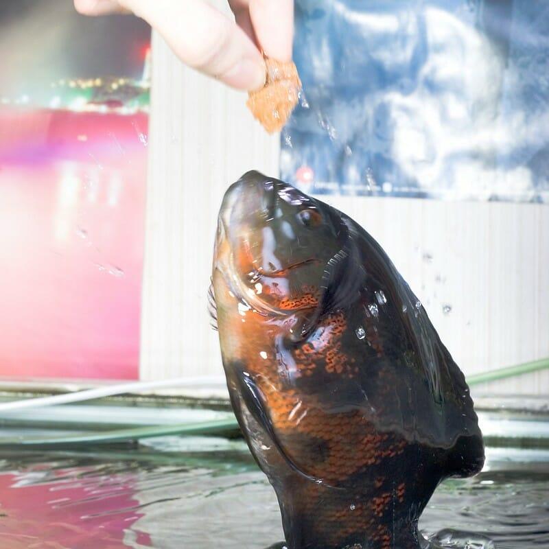 florida oscar fish