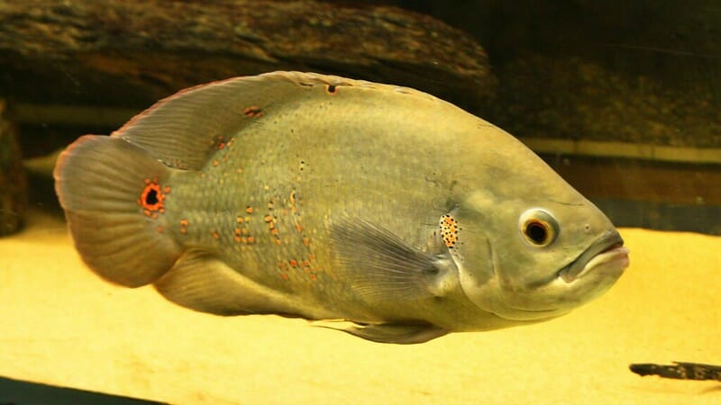 green oscar fish