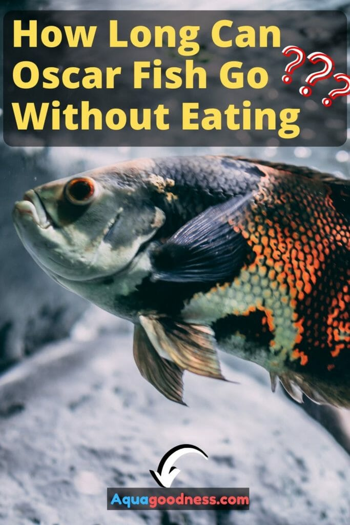 How Long Can Oscar Fish Go Without Eating? image