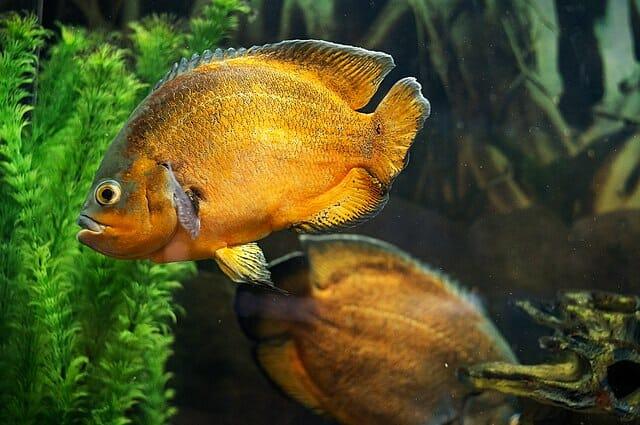 Golden Oscar Fish