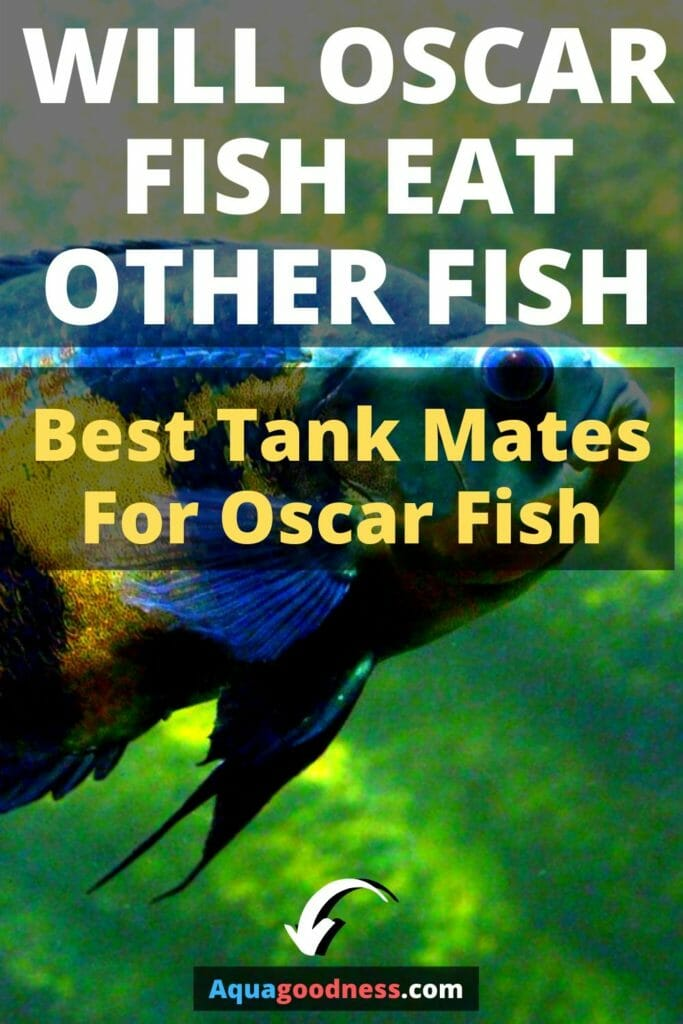 Will Oscar Fish Eat Other Fish? (Best Tank Mates For Oscar Fish) image