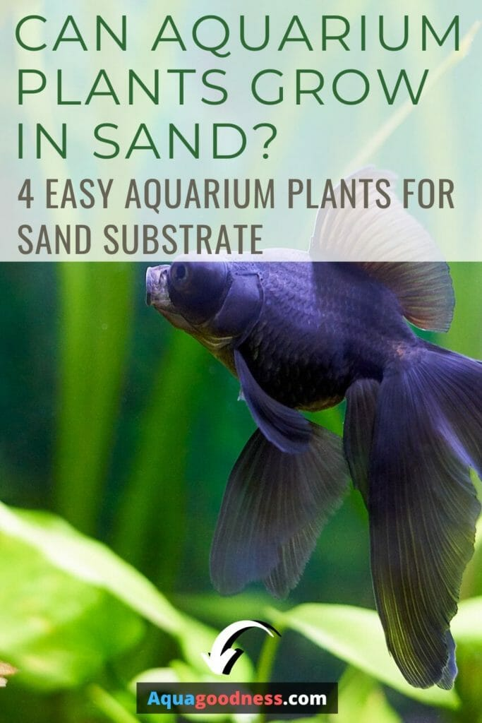 Can Aquarium Plants Grow In Sand? (Easy aquarium plants for sand substrate) image