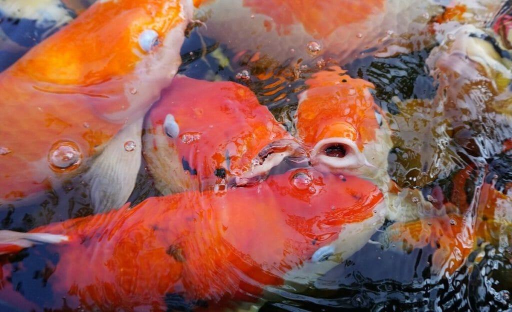 fish gulping air