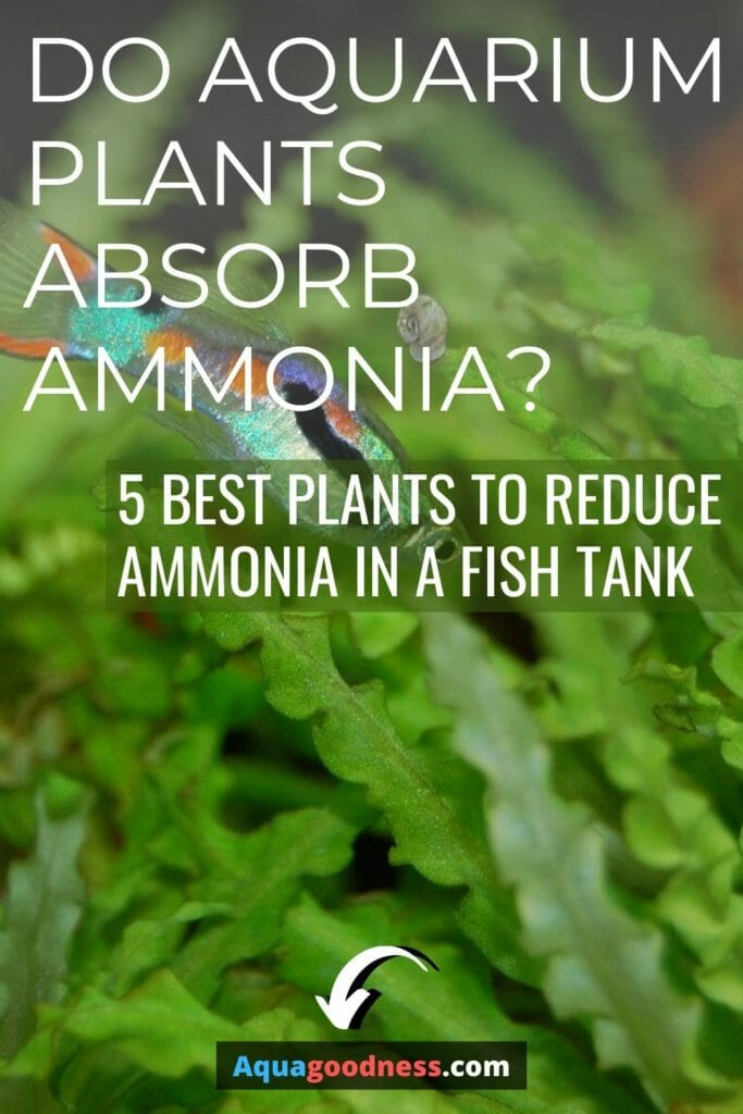 Do Aquarium Plants Absorb Ammonia? (5 best plants to reduce ammonia in a fish tank) image