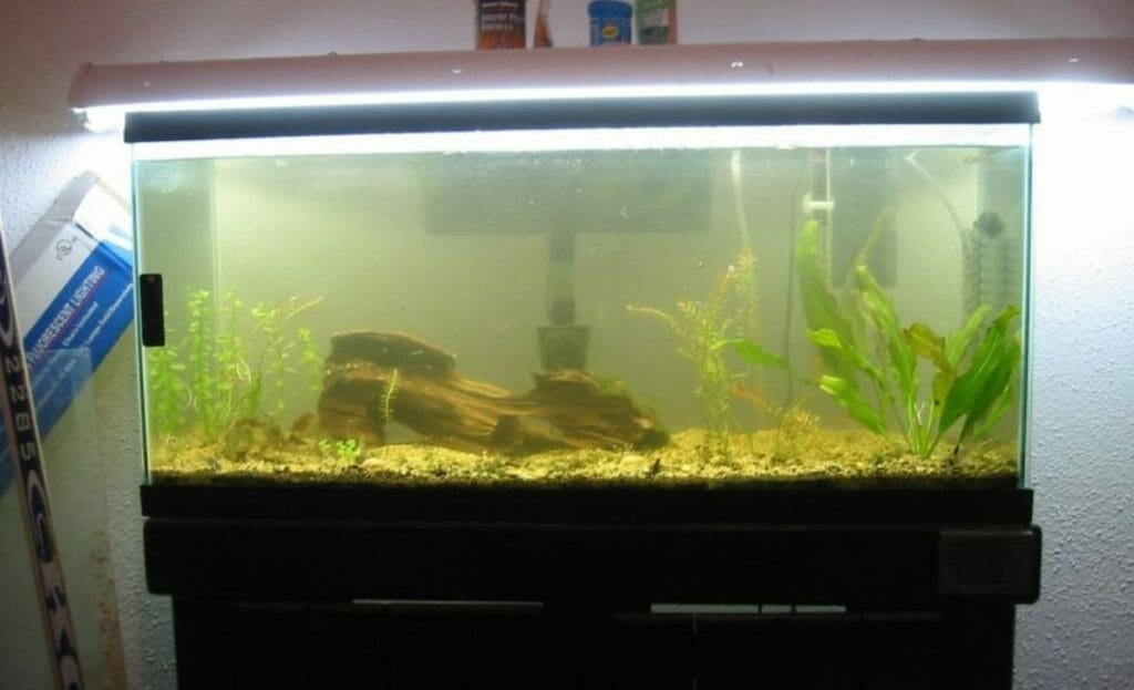 fish tank with algae