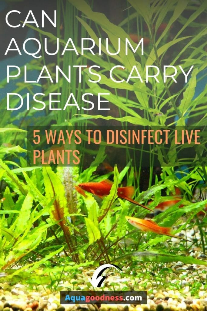 Can Aquarium Plants Carry Disease? (5 Ways to disinfect live plants) image