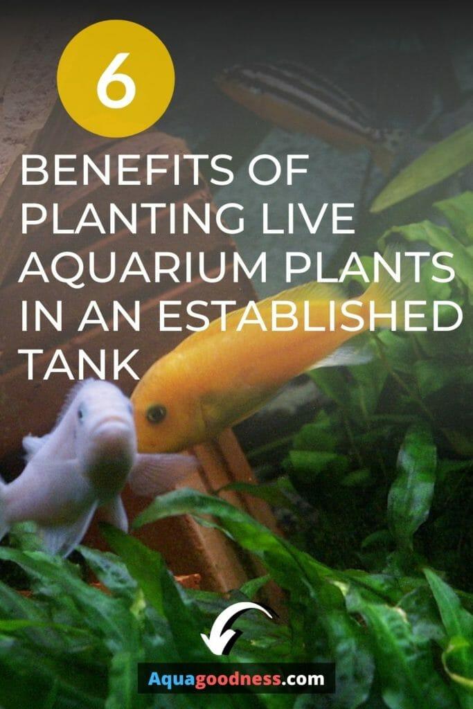 Benefits of planting live aquarium plants in an established tank image