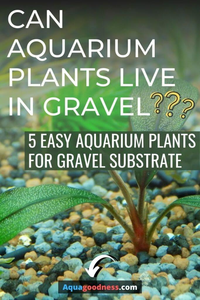 Can Aquarium Plants Live in Gravel? (Easy aquarium plants for gravel substrate) image