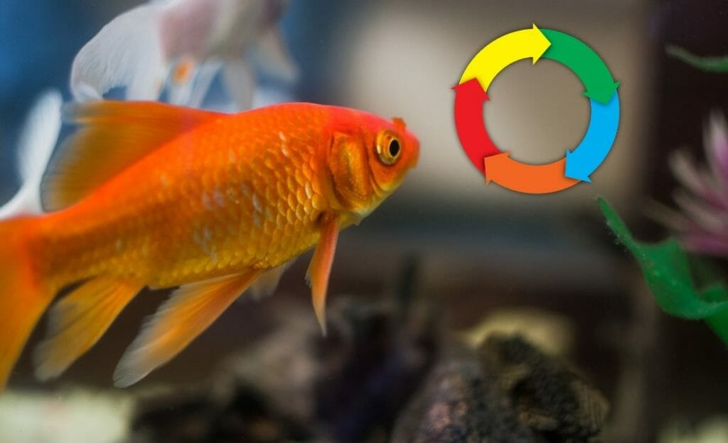 image of goldfish with cycle diagram