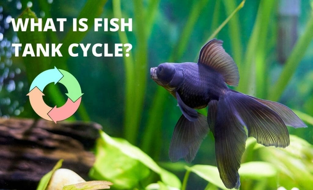 """image of fish with diagram of cycle and text overlay """"what is fish tank cycle"""""""