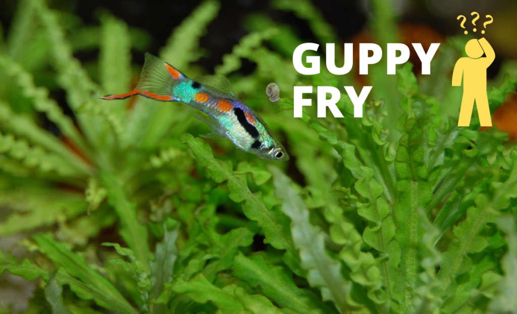 Guppy image with text guppy fry with confused man illustration