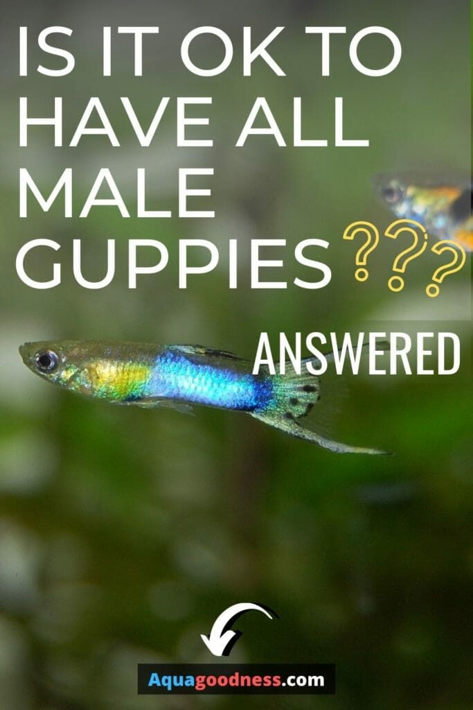 Is It Ok to Have All Male Guppies? (Answered) image