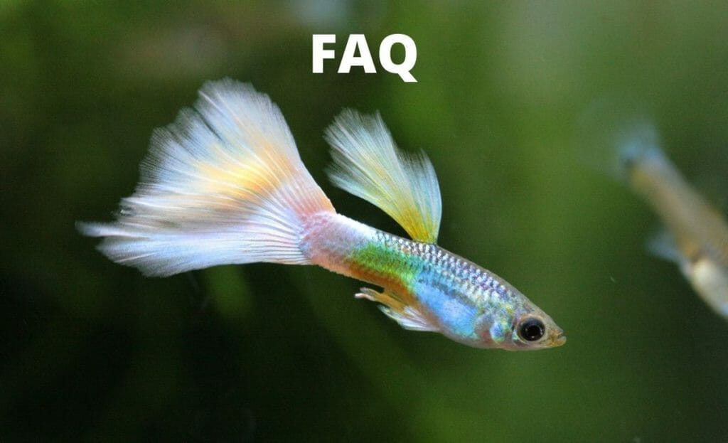 guppy fish image with text faq