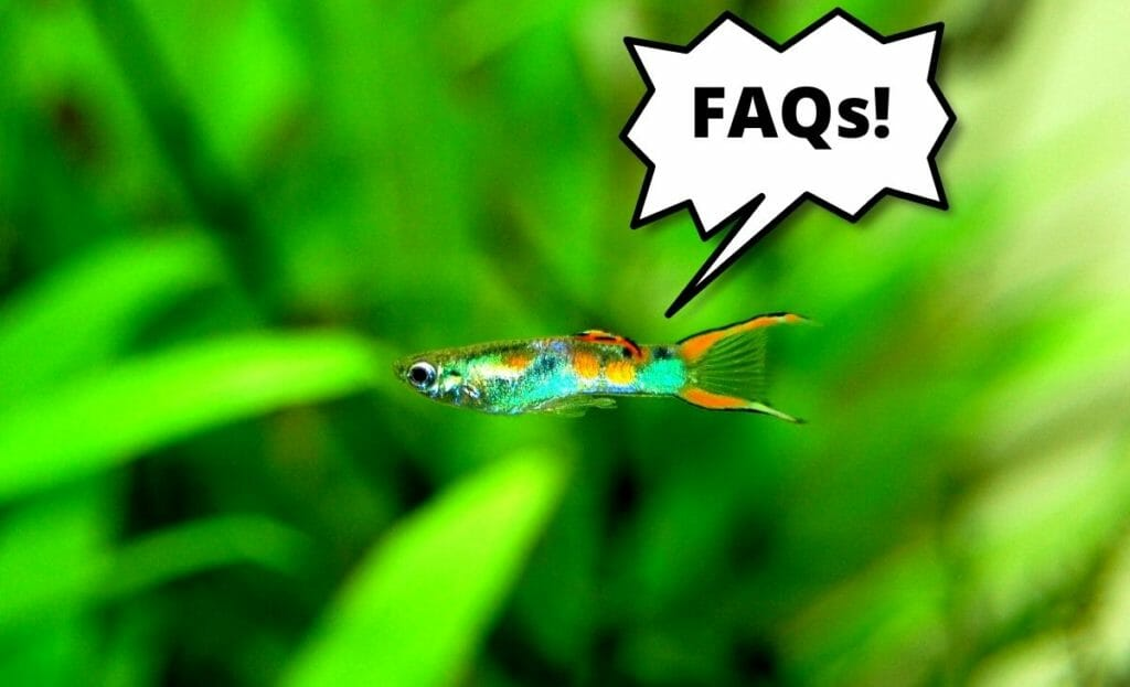 guppy fish with text overlay faqs