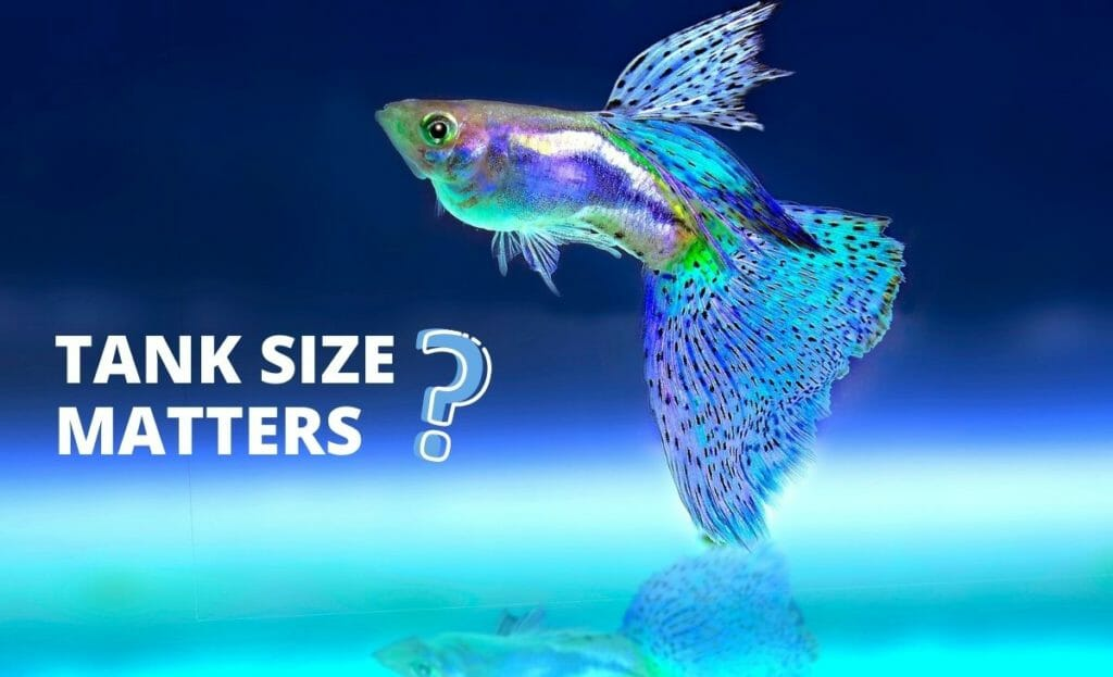guppy fish with text tank size matters and question mark