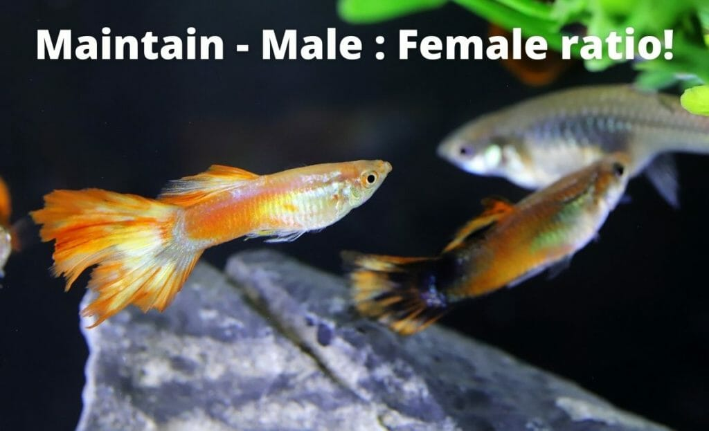 """guppy fish image with text overlay """"maintain male female ratio"""""""