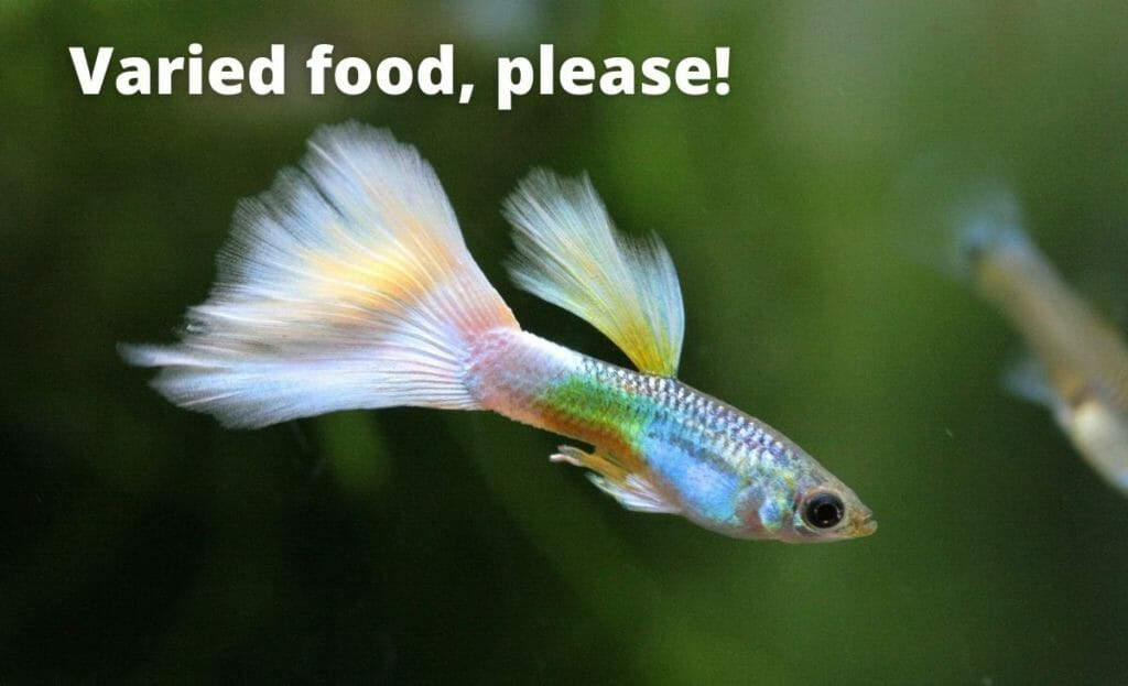 """guppy fish image with text overlay """"varied food please!"""""""