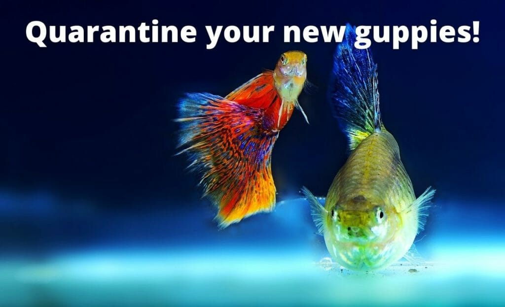 """guppy fish image with text overlay """"Quarantine your new guppies"""""""