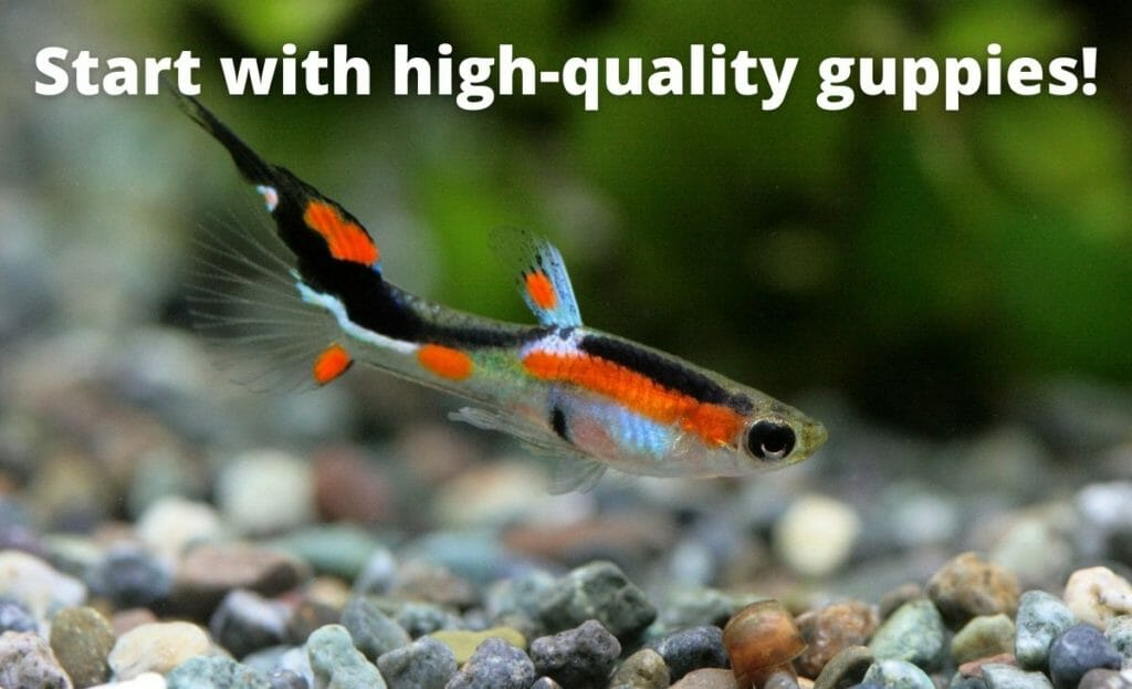 """guppy fish image with text overlay """"start with high quality guppies"""""""