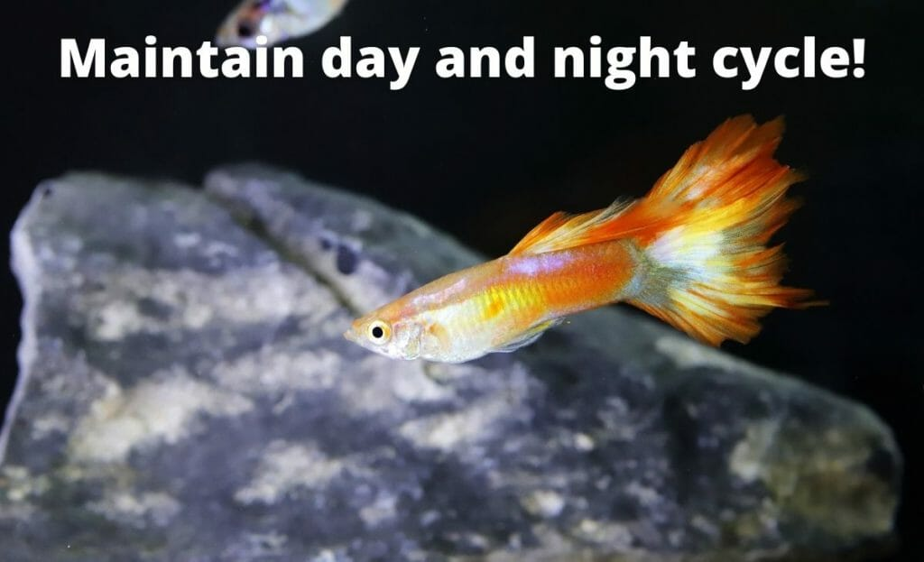 """guppy fish image with text overlay """"maintain day and night cycle"""""""