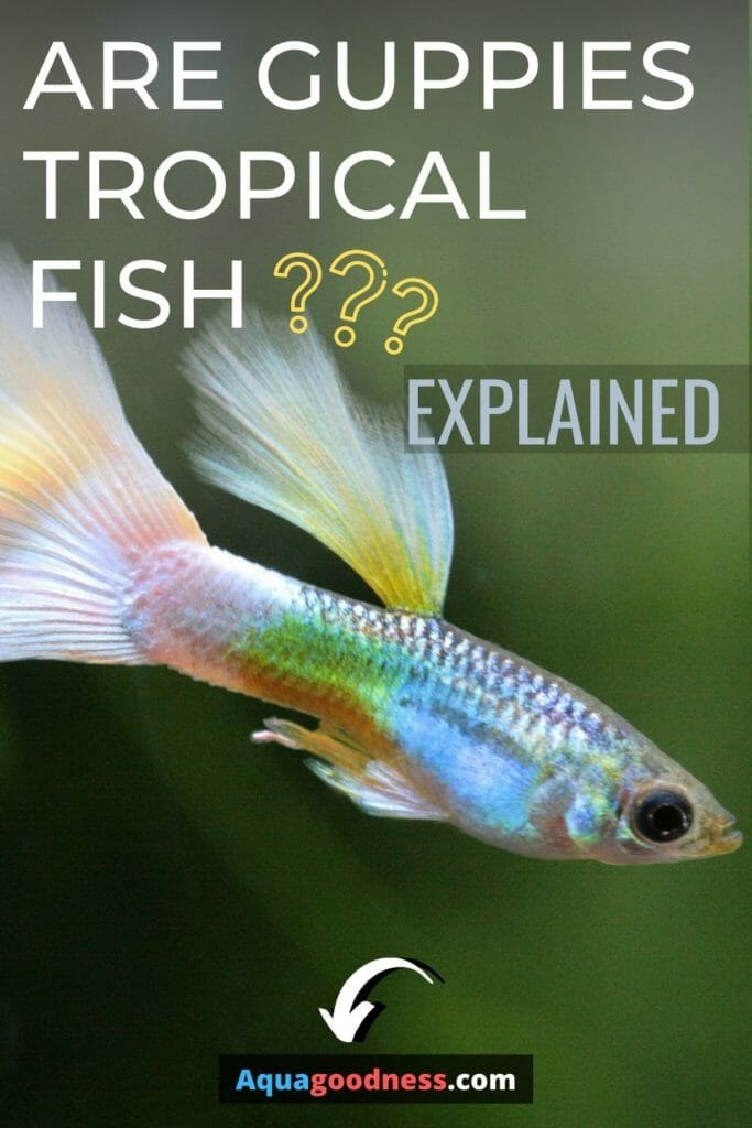 Are Guppies Tropical Fish? (Explained) image