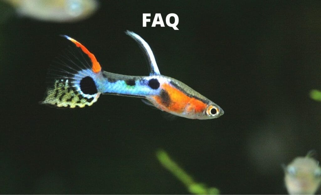 guppy fish image with text overlay- faq