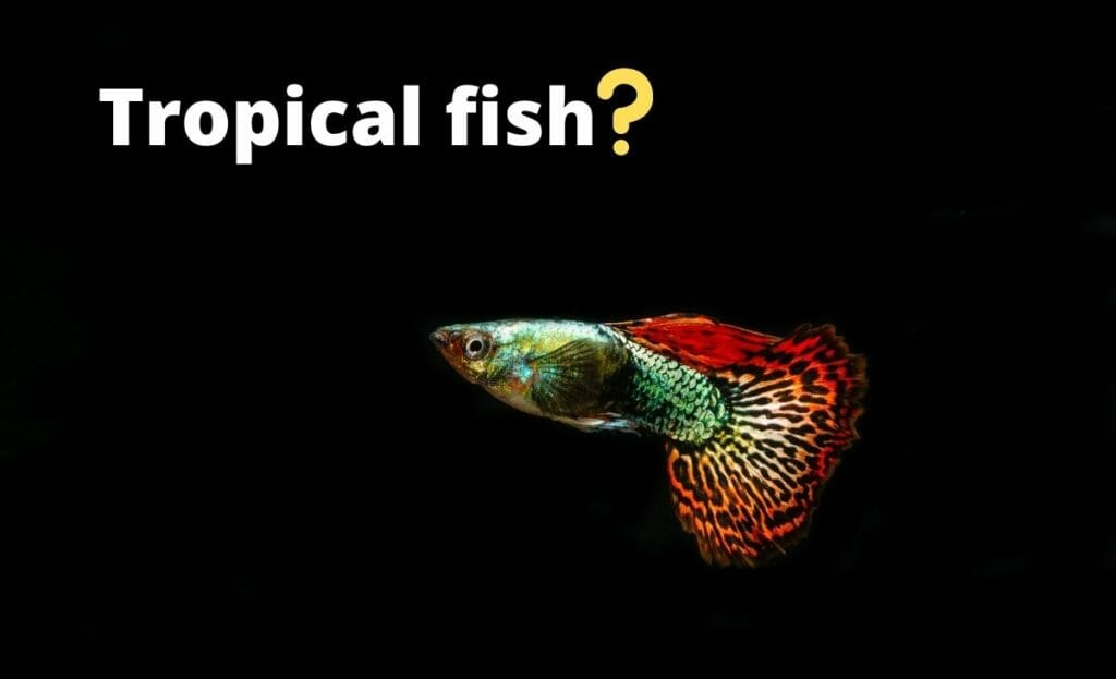 guppy ijmage with test tropical fish and question mark