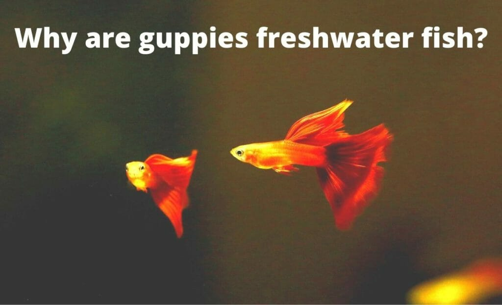 guppy image with text overlay Why are guppies freshwater fish