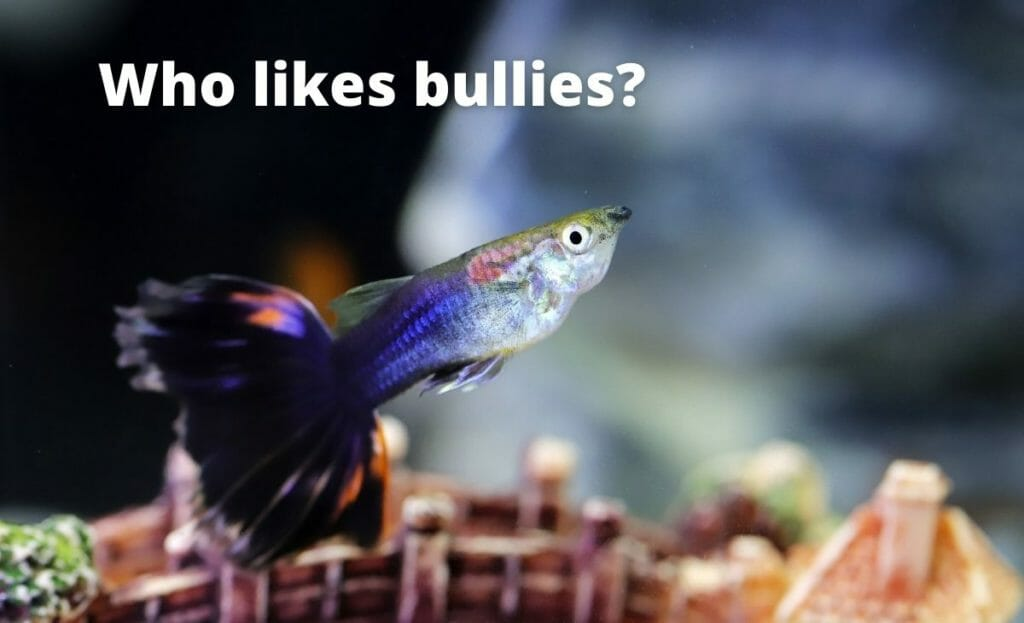 guppy fish image with text overlay Who likes bullies?