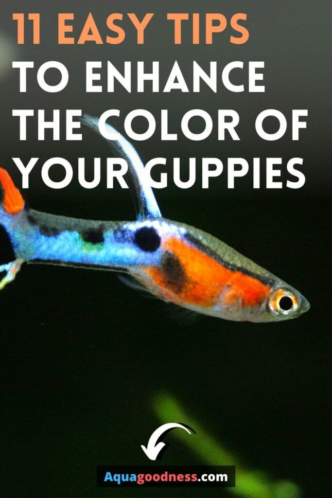 How Can I Enhance My Guppy Color? (11 Easy Tips) image