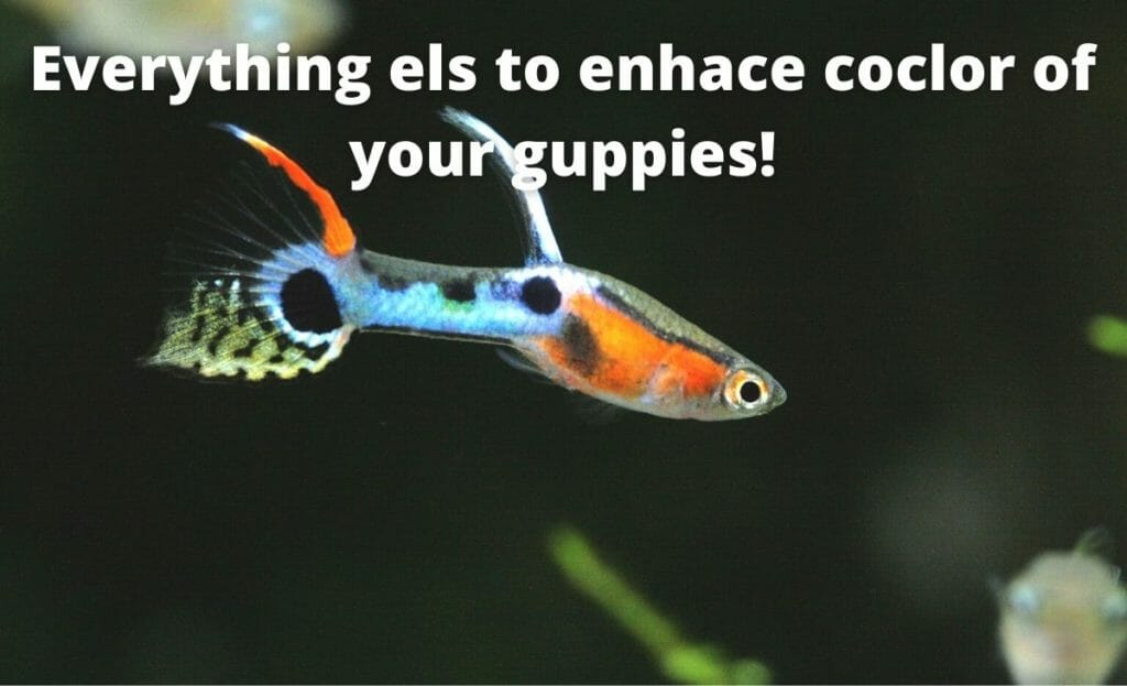 guppy fish image with text overlay Everything else to enhance color of your guppies!