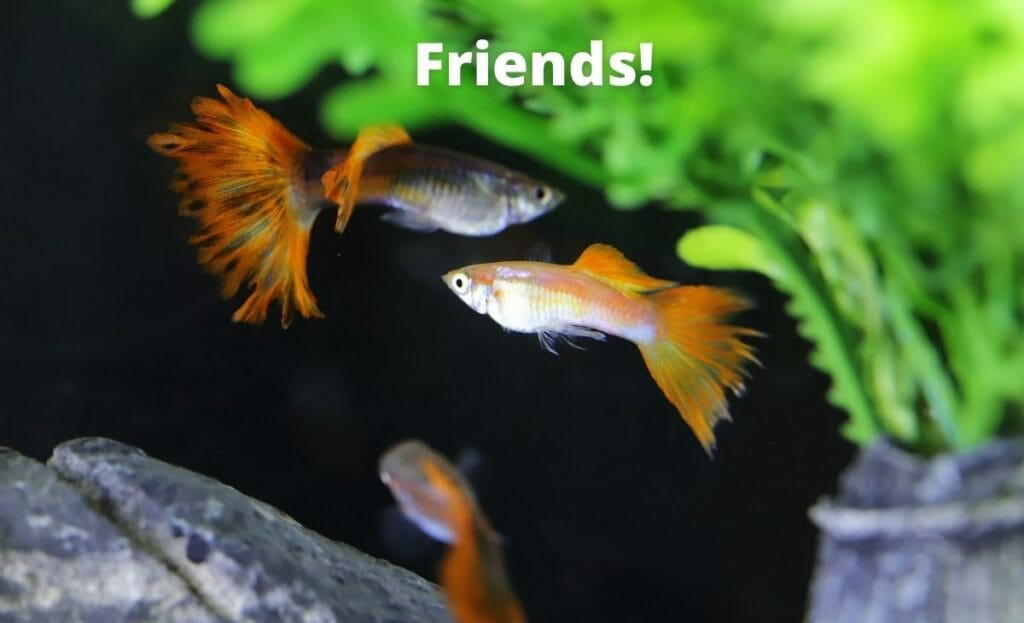 image of a group of guppies in a fish tank with text overlay friends